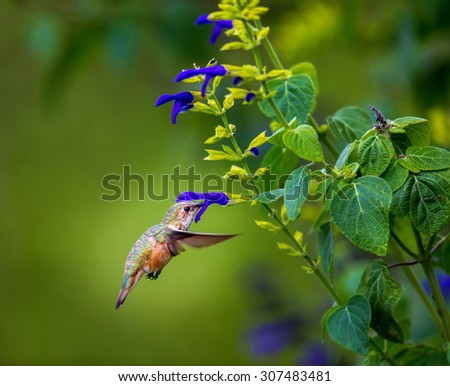 Rufous Hummingbird Female shot on vacation in central Mexico. After the long trip down these birds stop off in Queretaro Mexico and feast on the wild flowers in the mountains of La Joya de la Berata. - stock photo