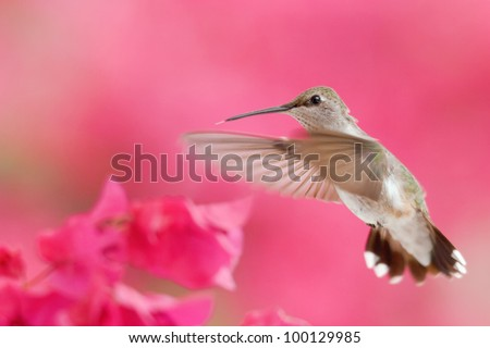 Rufous Hummingbird in Flight - stock photo