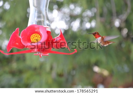 Rufous Hummingbird, in flight with red feeder. The male Ruby-throated Hummingbird  wears a splendid gorget, or throat patch, of silky, ruby red feathers. Pacific North West Bird. - stock photo