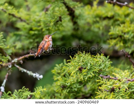 Rufous Hummingbird perched on a branch next to some wild flowers that it is guarding against intruders. These birds are very territorial and will not let others of its species come close. - stock photo