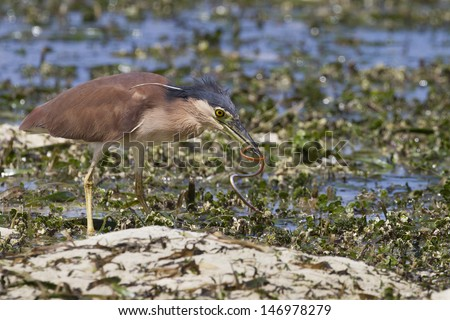 Rufous Night-Heron (Nycticorax caledonicus pelewensis) adult with an eel it has just caught in a lagoon at low tide off the coast of Palau. - stock photo