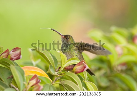 Rufous-tailed hummingbird feeding in a colorful tree photographed in Costa Rica. - stock photo