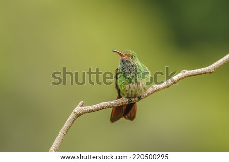 Rufous-tailed hummingbird perched photographed in Costa Rica. - stock photo