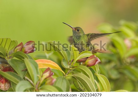 Rufous tailed hummingbird perching in a colorful tree photographed in Costa Rica. - stock photo