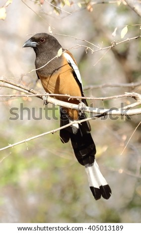 Treepie Stock Images Royalty Free Images Vectors Shutterstock