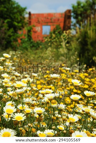 Ruins of  old farm house and daisy flowers at foreground. South of Portugal. Selective focus on the flowers - stock photo