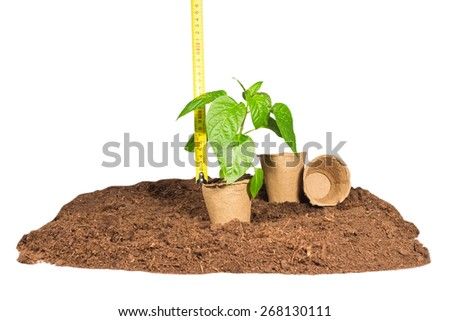 Ruler measures  height  seedlings in peat pots standing on  ground isolated white background - stock photo