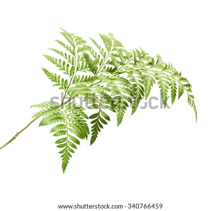 Rumohra adiantiformis, leatherleaf fern leaf isolated on white background - stock photo
