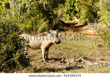 Run - Phacochoerus africanus - The common warthog is a wild member of the pig family found in grassland, savanna, and woodland in sub-Saharan Africa. - stock photo