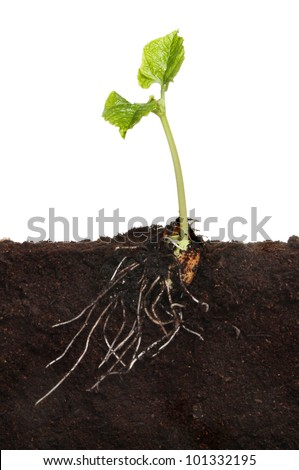 Runner bean vegetable seedling in soil showing a newly developed root system and two new leaves against a white background - stock photo
