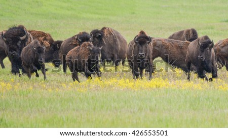 running bison herd
