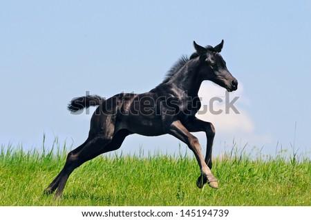 Running black foal in summer field - stock photo