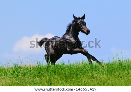 Running black foal in summer field