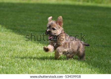 Running Cairn Terrier Puppy - stock photo