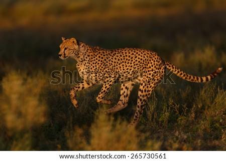Running Cheetah female in the Serengeti, Tanzania - stock photo