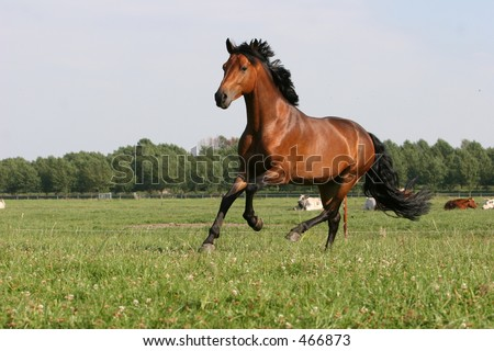 running chestnut stallion