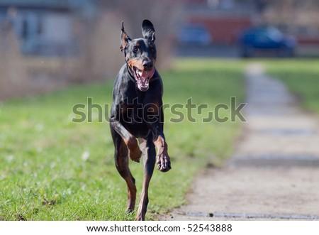 Running Doberman - stock photo