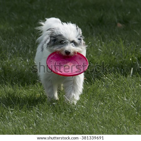 Running Dog/A white with black markings mixed breed dog running with a toy. - stock photo