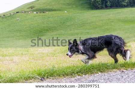 Running dog border collie herds of sheep on meadow - stock photo