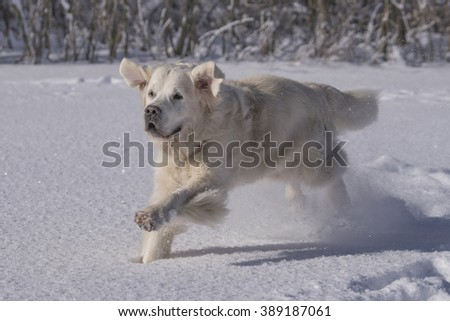 running dog in winter