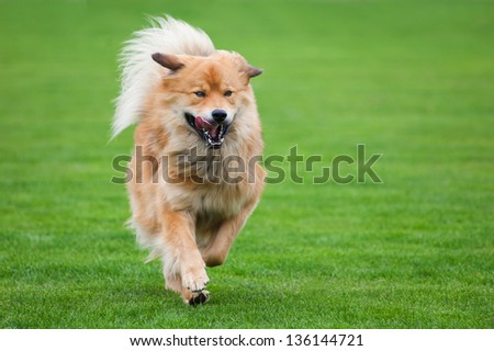 running dog on a green meadow