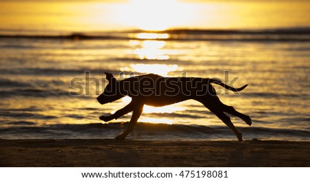 running dog silhouette on the beach at sunset