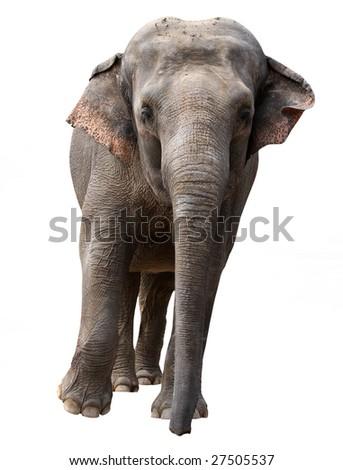 Running elephant - isolated - stock photo