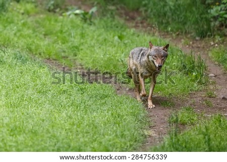 running Eurasian wolf - stock photo