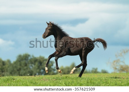 Running foal Welsh pony