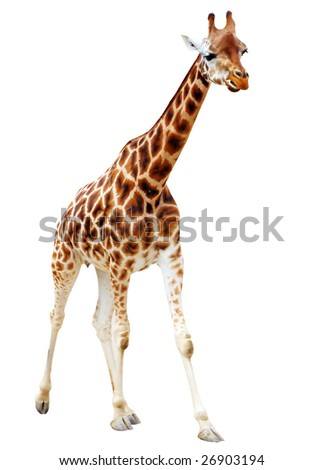 Running Giraffe isolated