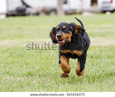 Running Gordon Setter puppy - stock photo