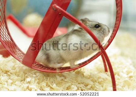running hamster - stock photo