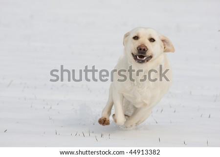 Running happy white dog - labrador - stock photo