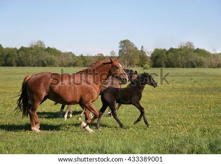 Running horses on the field - stock photo