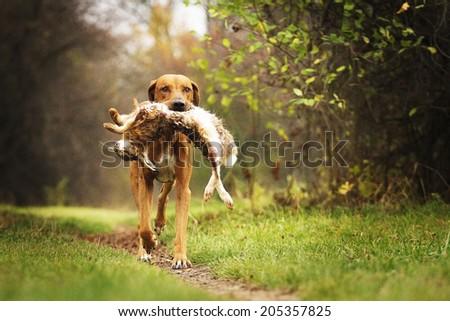 running hunting rhodesian ridgeback dog holding hare - stock photo