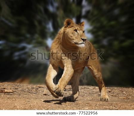 running lion - stock photo