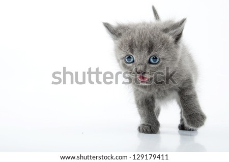 Running 1 month old Scottish straight cat. Studio shot.Isolated over white background. - stock photo