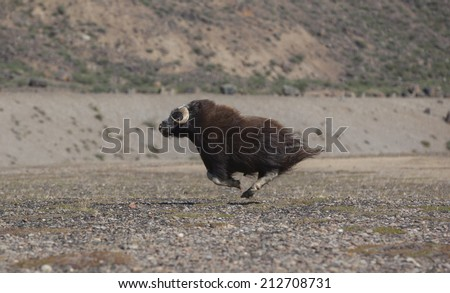 Running musk ox in arctic valley, Greenland - stock photo