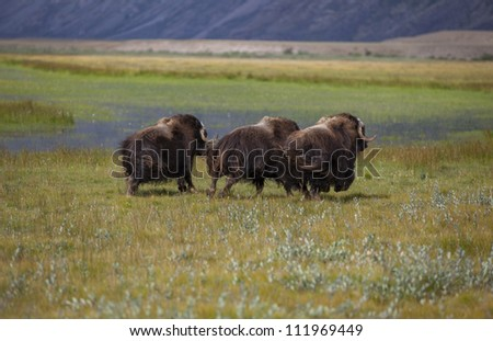 Running musk oxen in arctic tundra, Greenland - stock photo
