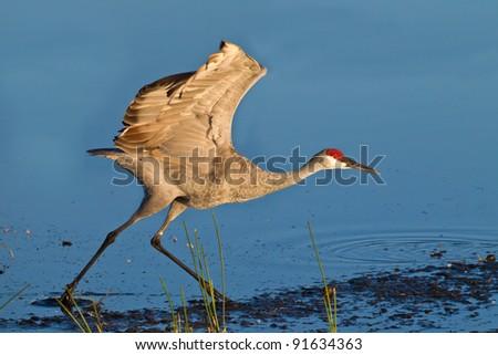 Running sandhill crane at sunrise - stock photo