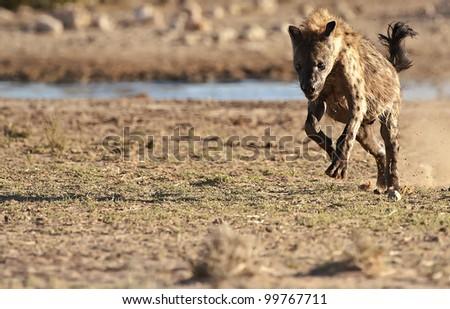 Running Spotted Hyena - stock photo