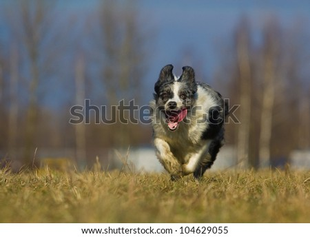 running through a field dog, Border Collie - stock photo