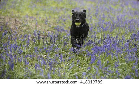 running through the bluebell forest - stock photo
