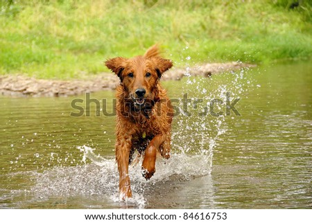 running wet orange golden retriever dog over water outdoors - stock photo