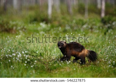 Running Wolverine in Finland tajga. Wildlife scene from nature. Rare animal from north of Europe. Wild wolverine in summer grass.