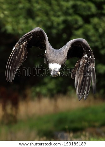 Ruppell's Griffon Vulture in flight - stock photo