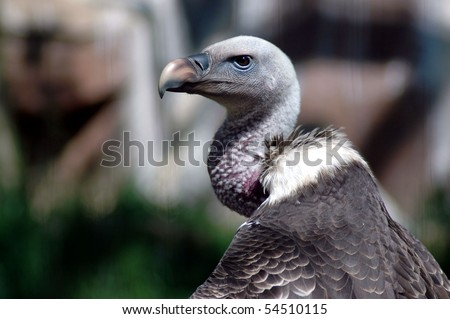 Ruppells Vulture - stock photo