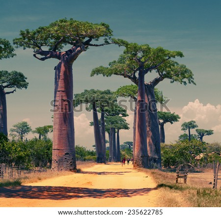Rural african road among baobab trees. Madagascar - stock photo