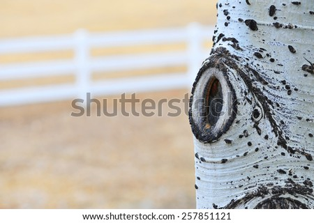 Rural aspen tree with white country fence background - stock photo