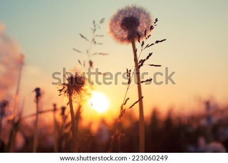 Rural field and dandelion at sunset - stock photo